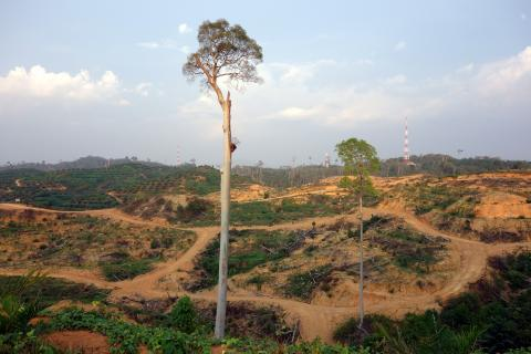 A clear-cut rainforest for oil palm plantation